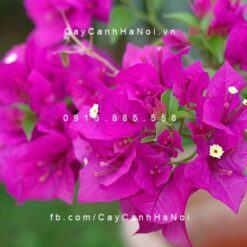 cây hoa giấy tím