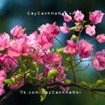 cây hoa giấy thái lan