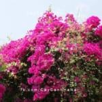 cây hoa giấy thái