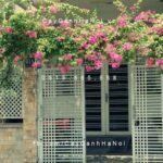 cây hoa giấy trong phong thủy
