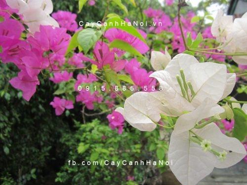 cây hoa giấy và phong thuỷ