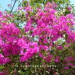 cây hoa giấy wiki