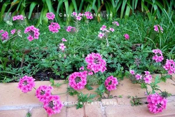 Các loại cây trồng chịu hạn cho khu vườn mùa hè (3)