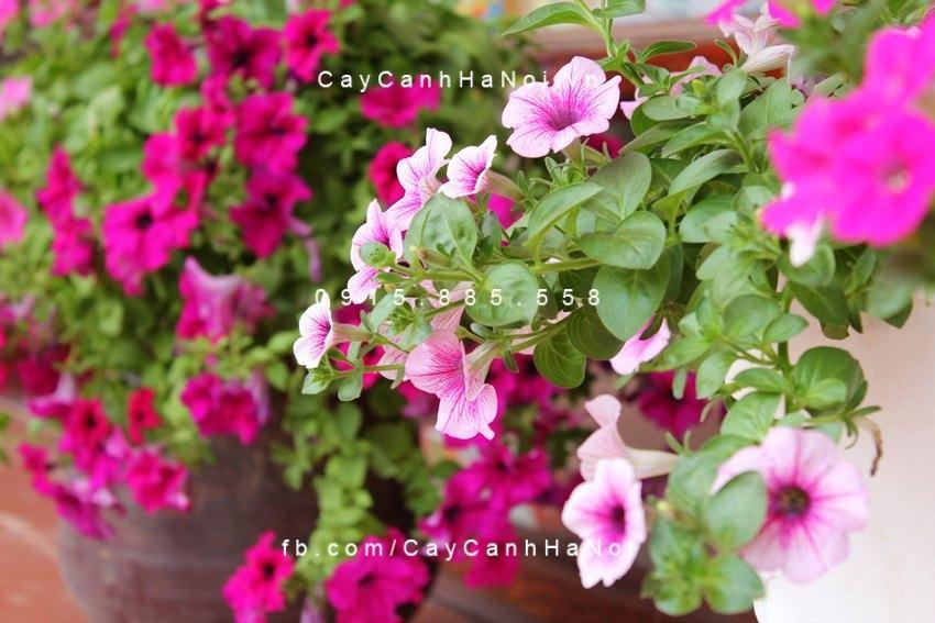 Các loại cây trồng chịu hạn cho khu vườn mùa hè (4)