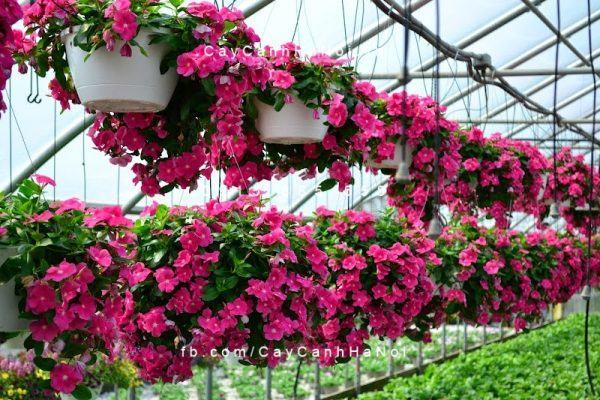 Hoa dừa cạn rủ là một trong các loại hoa vừa đẹp vừa chịu nắng tốt khá nổi tiếng vào mùa hè
