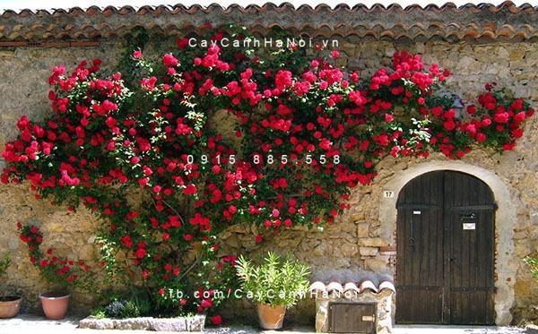 Hoa hồng leo là một trong top các loại hoa vừa đẹp vừa chịu nắng tốt , giúp điều hòa không khí