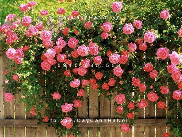 Hoa hồng leo là top các loại hoa vừa đẹp vừa chịu nắng tốt ngày hè