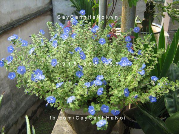 Hoa Thanh tú là một trong các loại hoa vừa đẹp vừa chịu nắng tốt, tạo cảm giác thanh mát