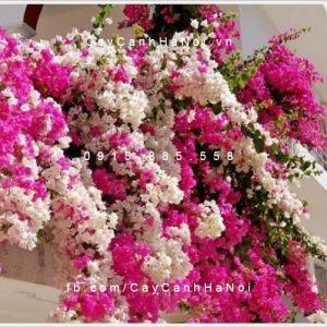 Kinh nghiệm nhân giống và trồng cây hoa giấy 2 màu
