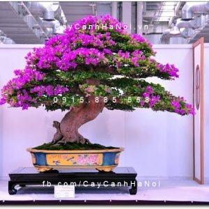 Cây hoa giấy bonsai dùng trang trí nhà ở và sân vườn