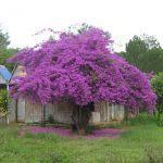 cây hoa giấy màu tím