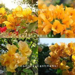 cây hoa giấy màu vàng
