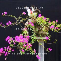 Cây hoa giấy dùng tạo bonsai
