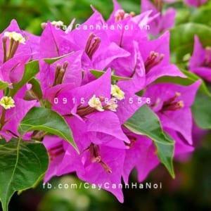 Cận cảnh hoa giấy Việt Nam