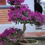 Cây hoa giấy Hà Nội được trồng trong chậu