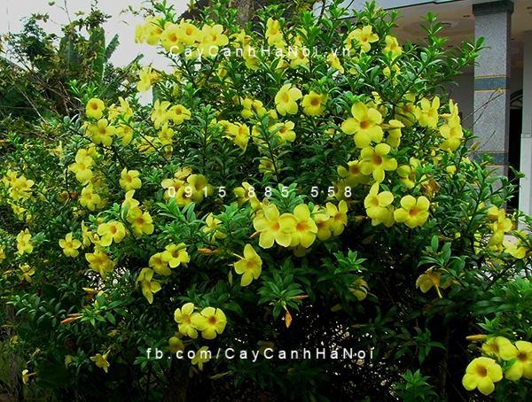 Chiêm ngưỡng sắc hoa huỳnh anh, hoa chịu được nắng dễ trồng (1)