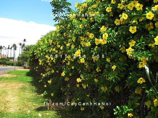 Chiêm ngưỡng sắc hoa huỳnh anh, hoa chịu được nắng dễ trồng (2)