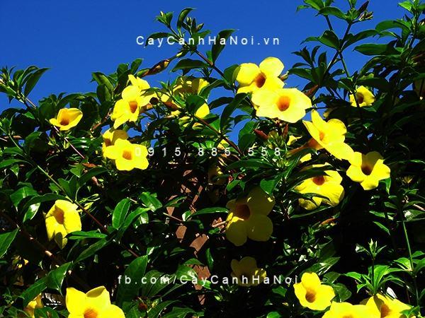 Chiêm ngưỡng sắc hoa huỳnh anh, hoa chịu được nắng dễ trồng (3)