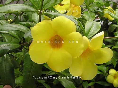Chiêm ngưỡng sắc hoa huỳnh anh, hoa chịu được nắng dễ trồng (4)