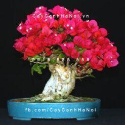 Cây hoa giấy cổ thụ tạo dáng bonsai