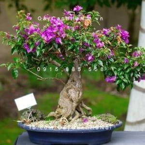 Cây cảnh hoa giấy mini