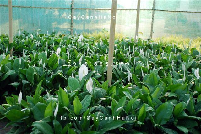 Hoa Lan Ý- một trong các loại cây trồng chịu hạn tốt (4)
