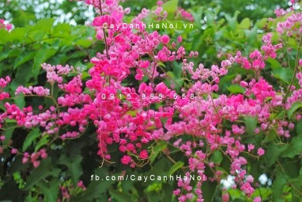 Giàn dây leo hoa tigon nở hoa vào mùa hè
