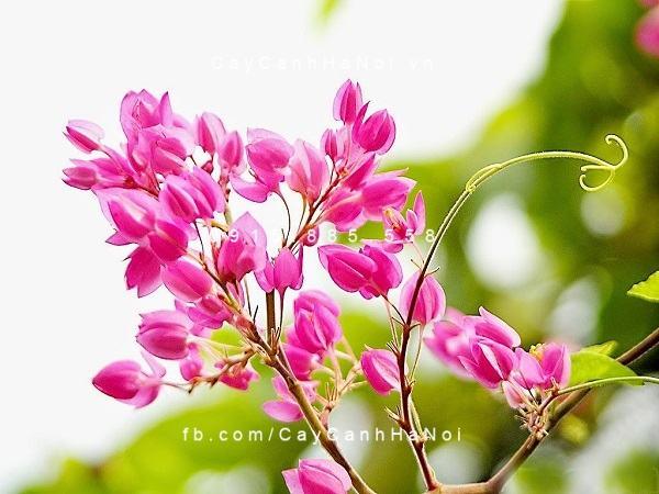 Cận cảnh vẻ đẹp của hoa tigon