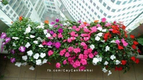 mùa hè trồng hoa gì ở ban công