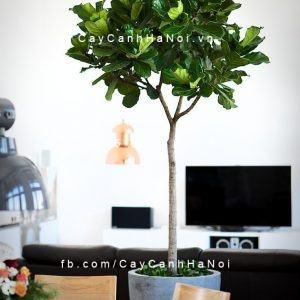 Cây bàng singapore để bàn