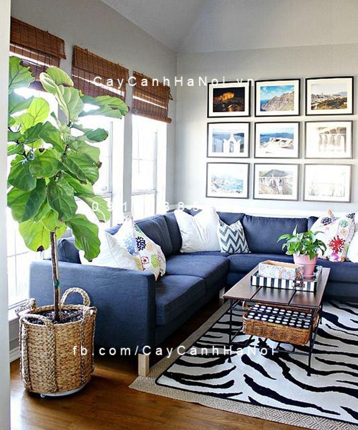 Cây bàng singapore trang trí nhà cửa