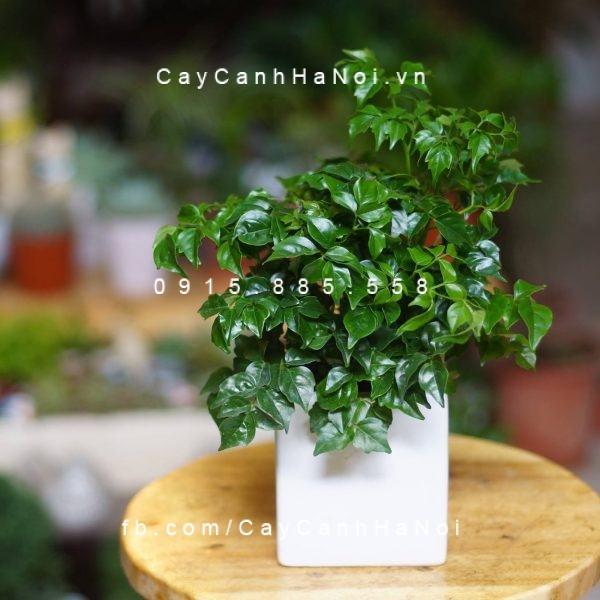 cay-hanh-phuc-trang-tri-ban-lam-viec