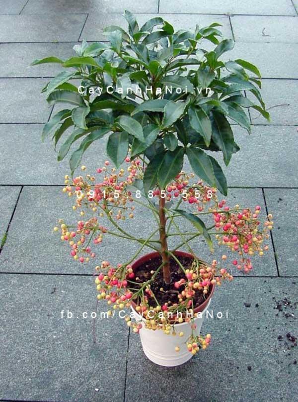 Cây Kim Ngân ra hoa