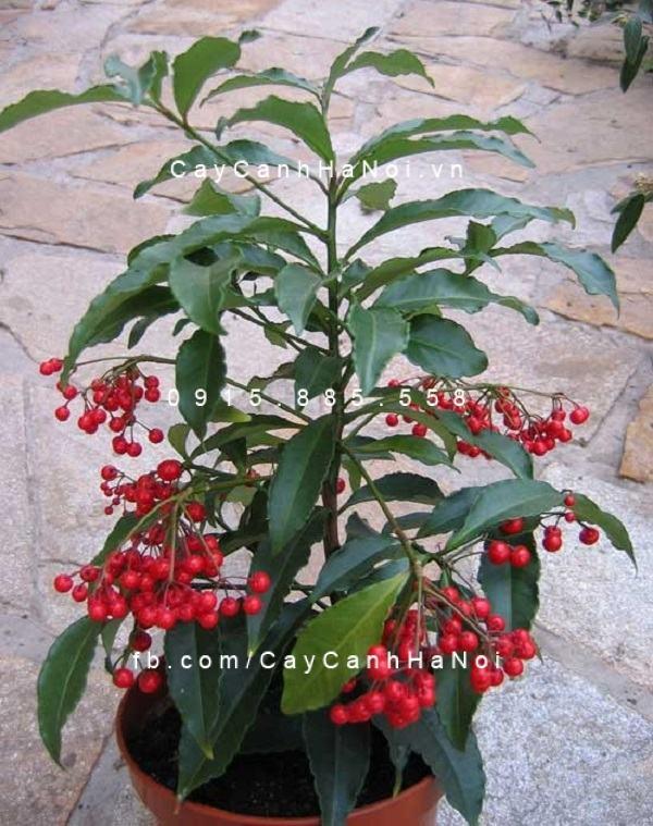 Trái cây kim ngân màu đỏ