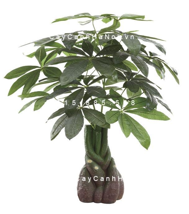 Cây kim ngân xoắn bonsai