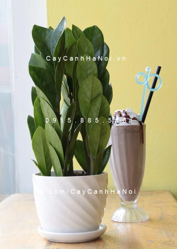 cay-kim-tien-quan-cafe