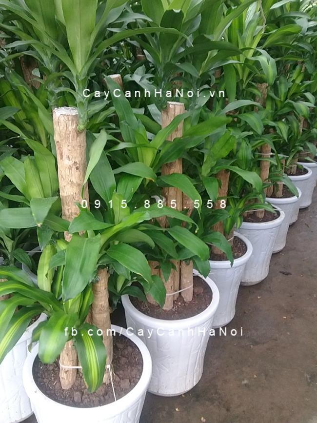 Giá của cây Thiết Mộc Lan còn tùy thuộc vào nhiều yếu tố