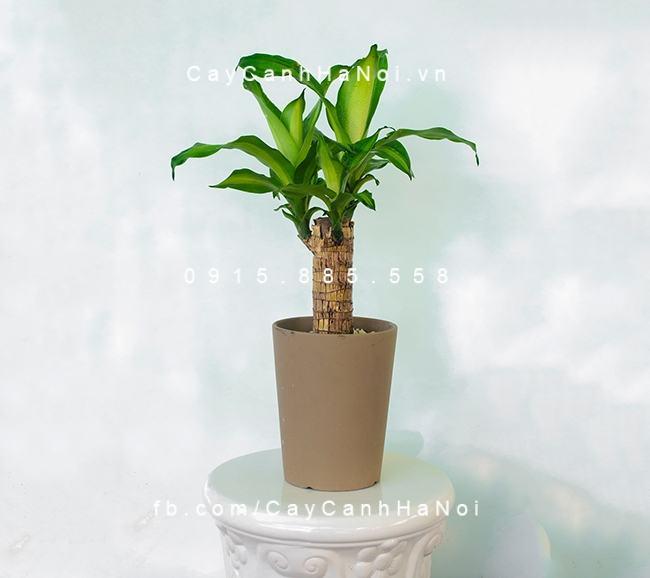 Không chỉ mang lại may mắn, thiết mộc lan còn mang lại không khí tươi mát cho ngôi nhà của bạn