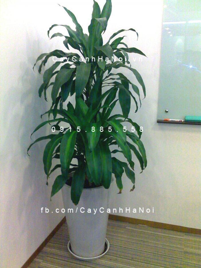 Cây Thiết Mộc Lan thường được sử dụng trong trang trí nơi làm việc