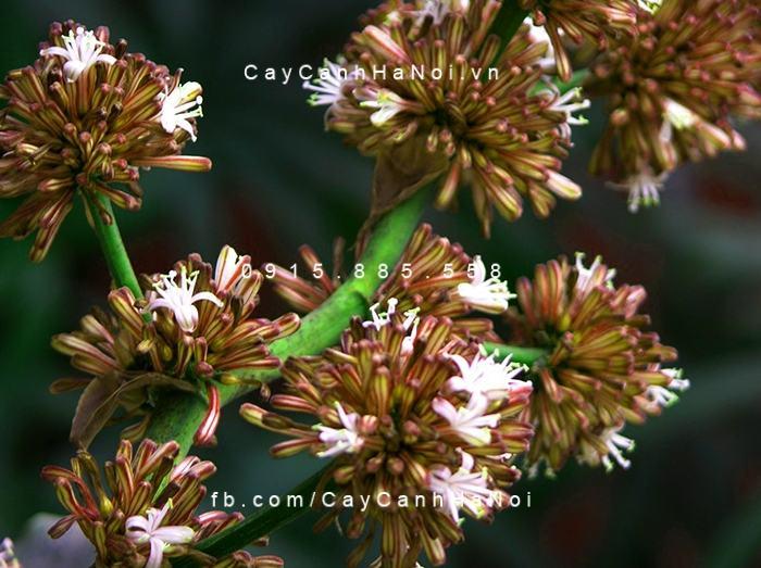 Cây và hoa của thiết mộc lan đều mang ý nghĩa phong thủy độc đáo