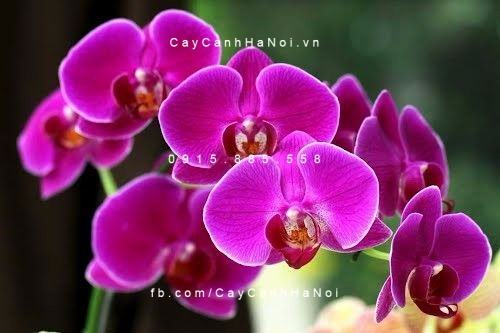 Hoa lan hồ điệp màu tím đẹp