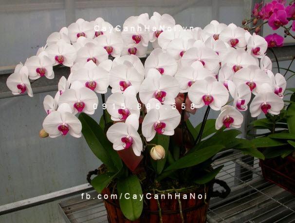 Hoa hồ điệp trắng