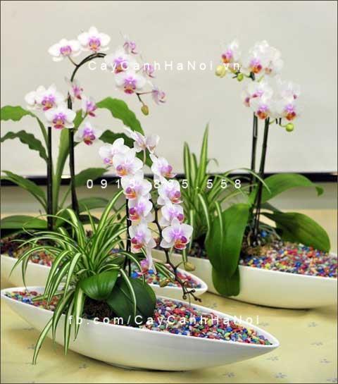 Hoa lan hồ điệp màu trắng