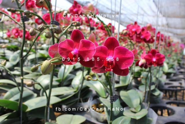 Hoa lan hồ điệp màu đỏ