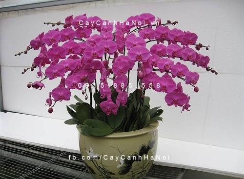 Hoa lan hồ điệp màu tím