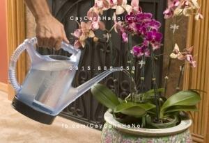 Chăm sóc lan hồ điệp trồng thủy canh