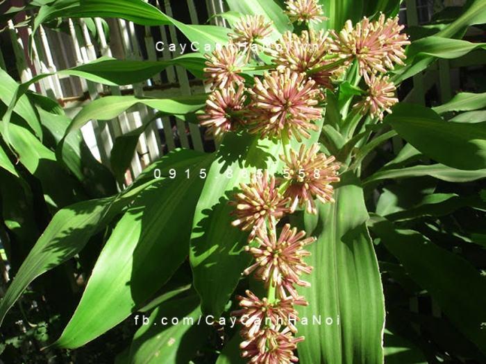 Ấn tượng với sự kiêu sa của hoa thiết mộc lan