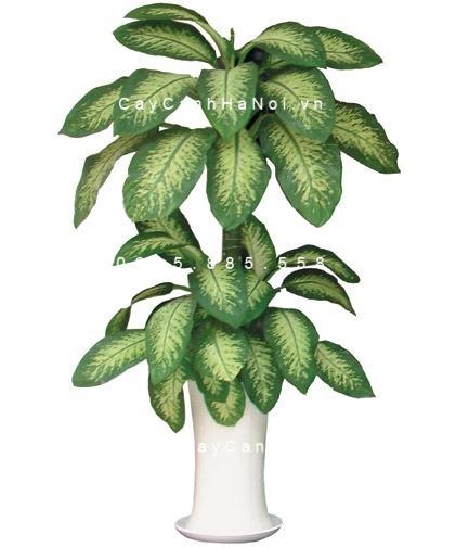 Cây vạn niên thanh leo cột bonsai