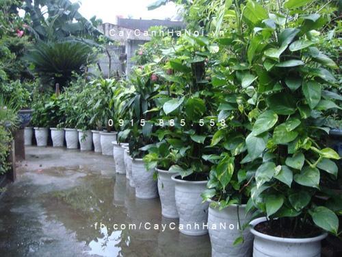 Cây vạn niên thanh leo cột trồng trong chậu