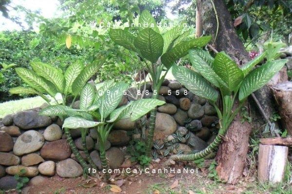 Cây vạn niên thanh trồng trong vườn có phong thủy tốt